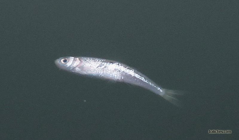 верховка Leucaspius delineatus