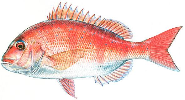 красный морской карась