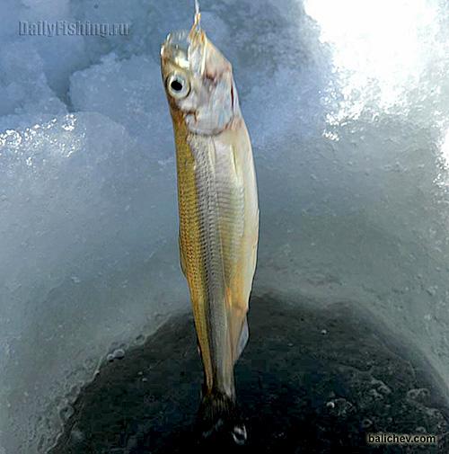 корюшка владивосток зимняя рыбалка