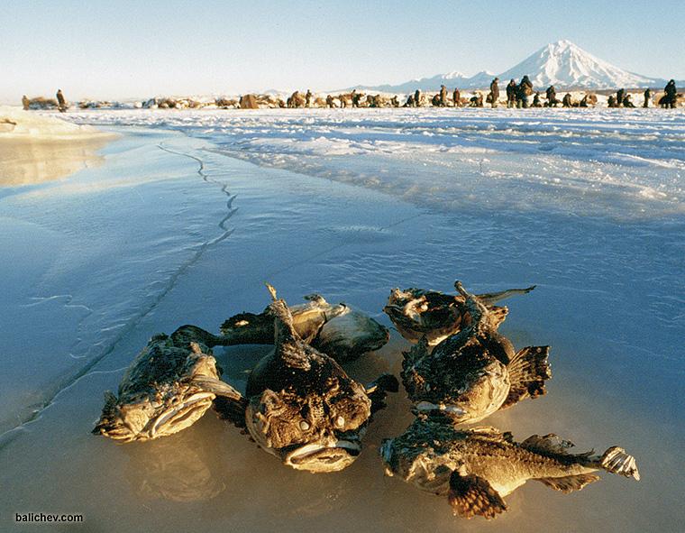 «Бычки» на льду
