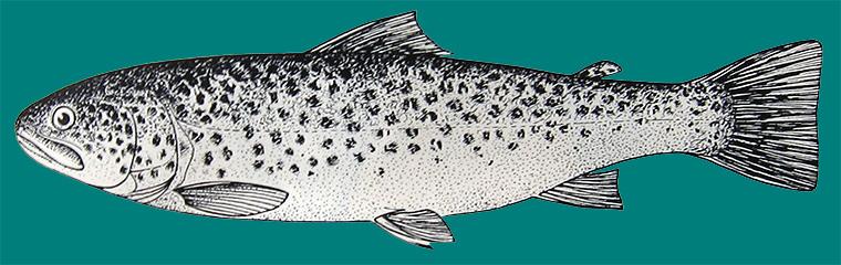 палия или озерная форель