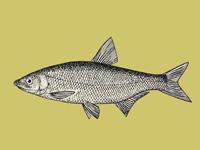 рыбец vimba