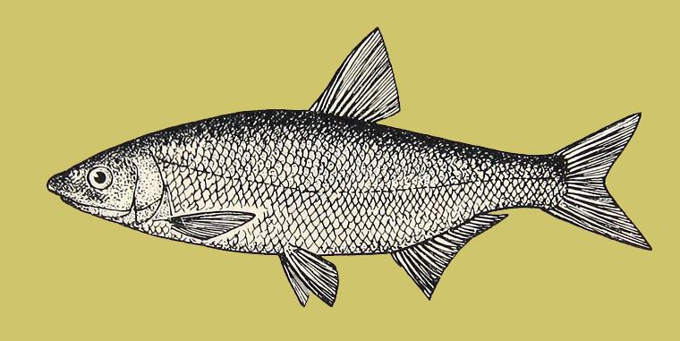 рыбец vimba vimba