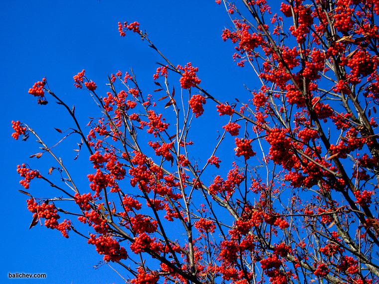ягоды рябины в лесу