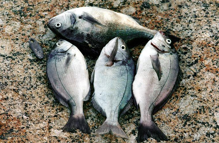 улов морской рыбы